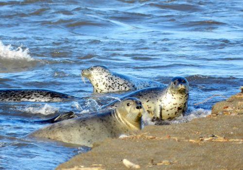 seals rookery coast