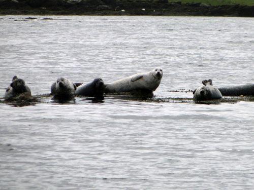 seals scotland coast