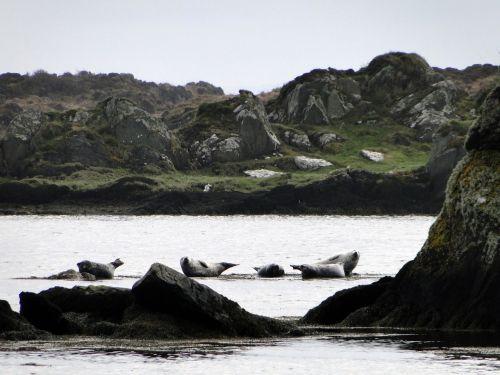 seals rocky coast nature