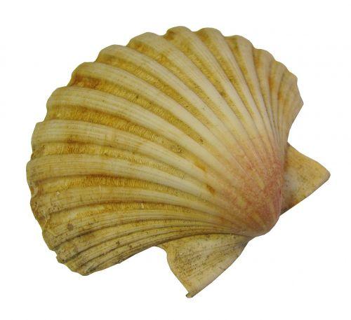 seashell scallop nature