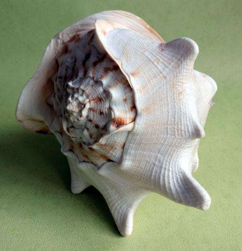 seashell ocean snail