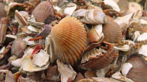 seashells cockle sea
