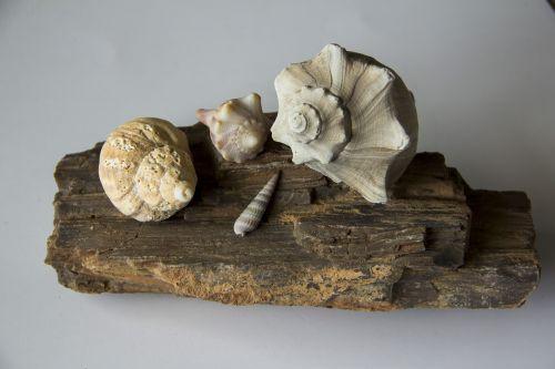 seashells conch shell