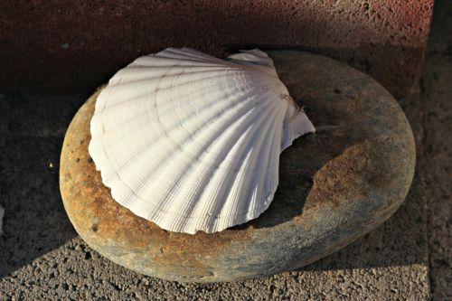 seashell clam shell