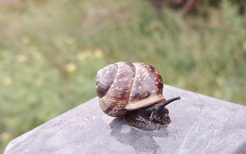 seashell slug garden snail