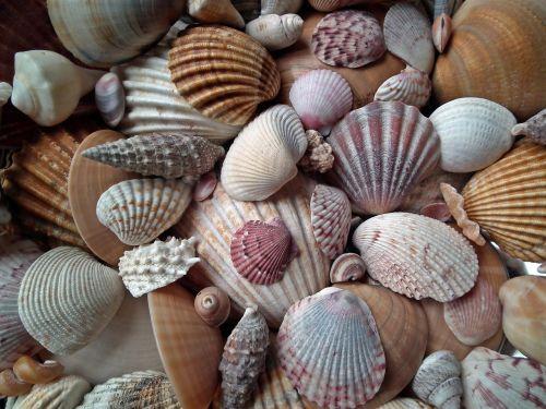 seashell marine crustaceans