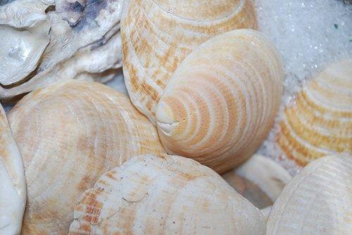 seashell  sea  shellfish