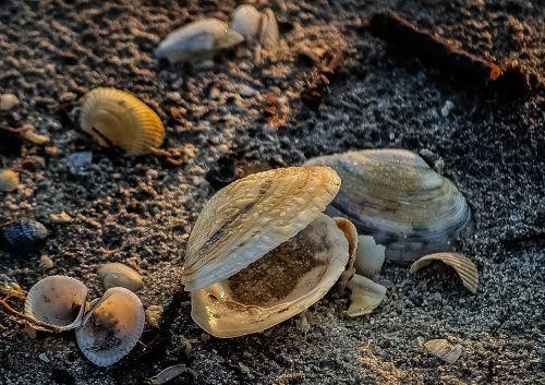 seashell shellfish mussel