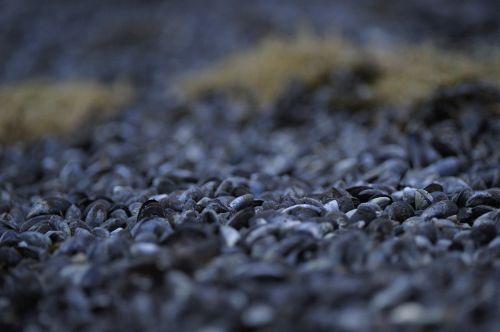 seashells shells mussels
