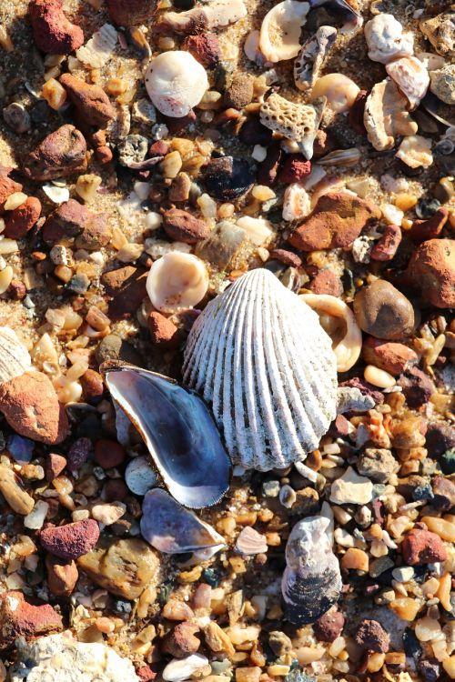 seashells sea shell