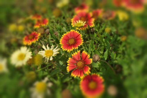 gėlės, sodas, žiedlapiai, sezonas, gamta, spalvos, lapija, laukiniai, žydėjimo sezonas