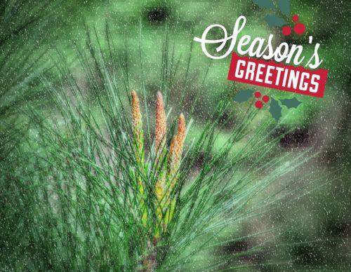 Season's Greetings Pine Branch