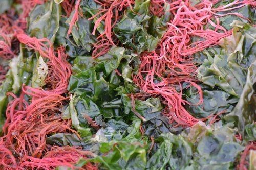 seaweed algae nature