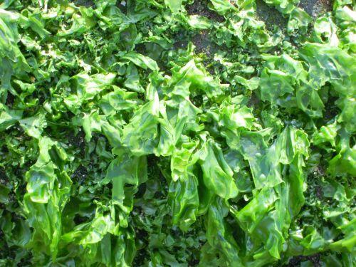 seaweed stone tuan sea lettuce