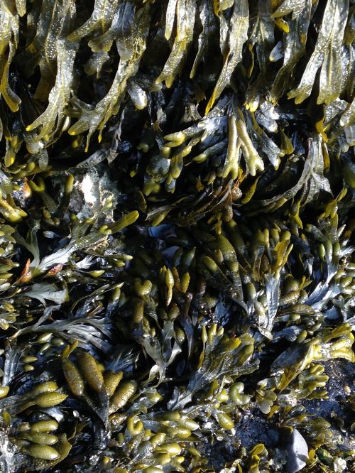 seaweed aquatic plants sea