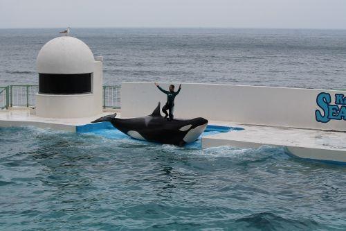 seaworld aquarium killer whale