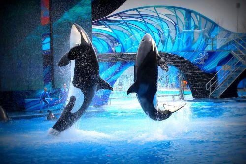 sea world killer whales jump