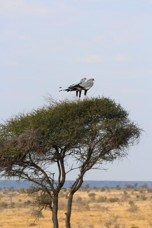 secretary birds perched