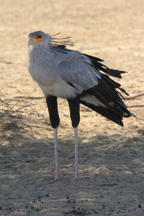 secretary bird raptor predator