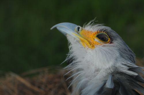 Secretary  Bird Looking Up