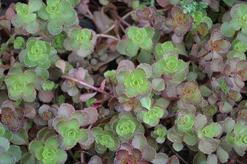 sedum green garden