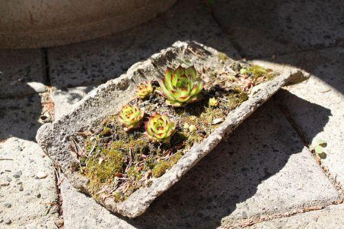 sedum sempervivumväxter dry