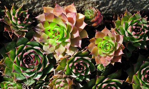 sedum  plant  garden