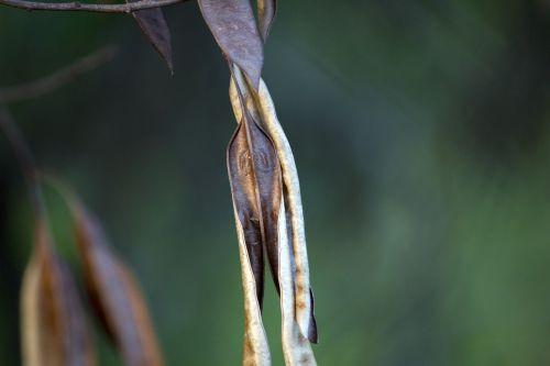 seed tree with seed dry leaf
