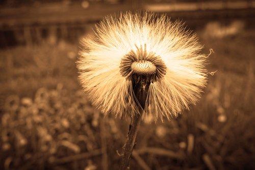 seed head  puff ball  hawksbeard
