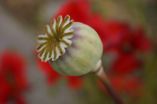 seed pod poppy capsule