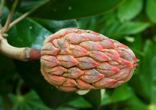 sėklų ankštis,magnolija,sėklos,kūgis,figūra,reprodukcija,magnoliaceae