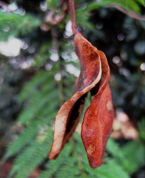 seed pod split open brown