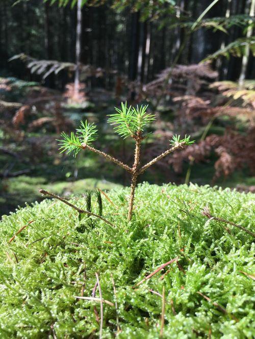 seedling scion forest