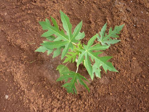 seedling papaya papaya leaves