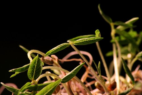 seedling  rung  plant