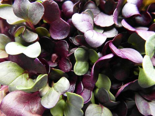 seedlings radix grow
