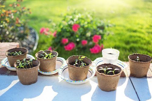 seedlings planting gardening