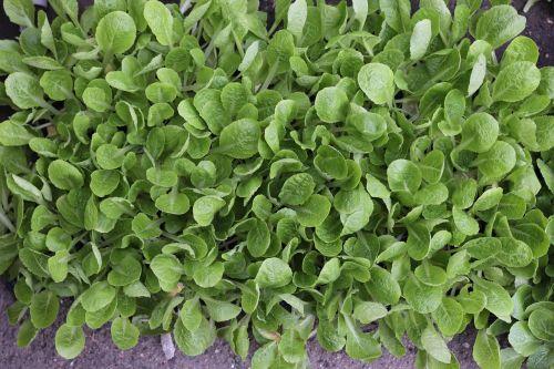 seedlings lettuce vegetables