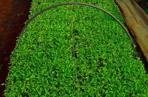 seedlings chilli nursery