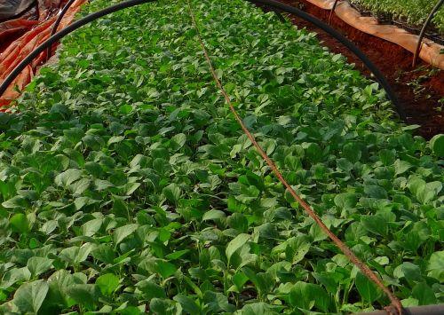 seedlings brinjal nursery