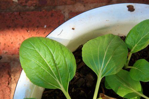 Seedlings In Enamel Bath