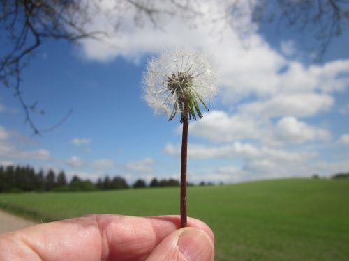 sėklos,kiaulpienė,dangus,botanika