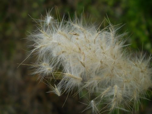 seeds dry vilanos