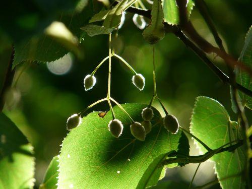 seeds linde tree