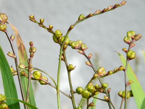 seeds seed capsules montbretia