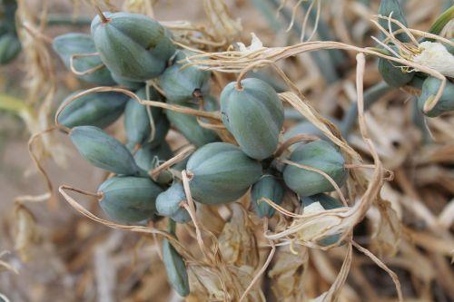 seeds capsule green