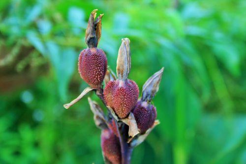 Seeds Of Canna