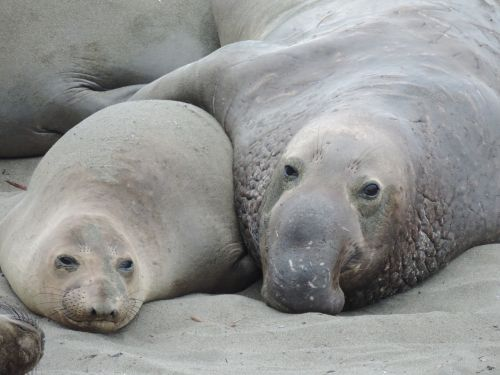 seeelefant sea lion friendship
