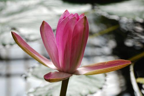 sefton flower lily