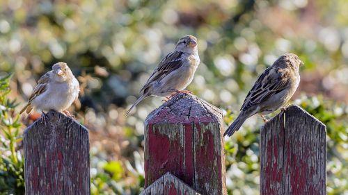 sejrspodie birds picket fence